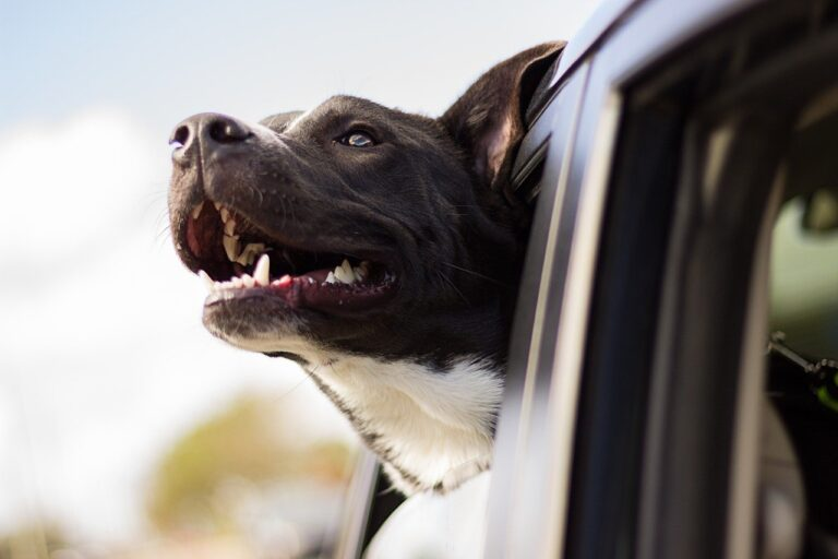 dog, happy, car